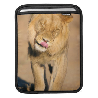 A Lion shaking its head and licking its mouth iPad Sleeve
