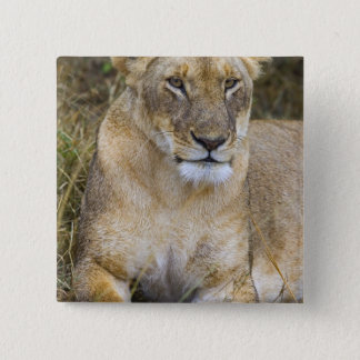 A lion sitting the high grass of the Maasai 15 Cm Square Badge
