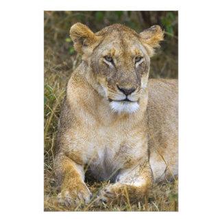 A lion sitting the high grass of the Maasai Photo Art