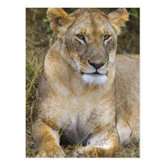 A lion sitting the high grass of the Maasai Postcard