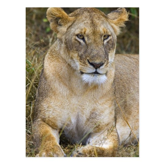 A lion sitting the high grass of the