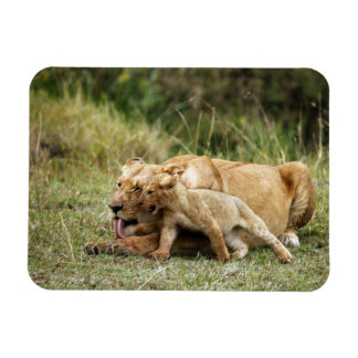 A lioness and her playful cub rectangular photo magnet