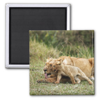 A lioness and her playful cub square magnet