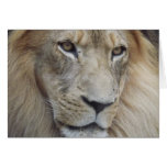 A Lion's Stare Greeting Card