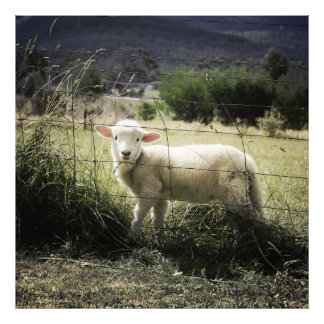 a little white lamb behind a fence in a field art photo