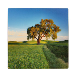 A lone tree surrounded by rolling hills of wheat wood coaster