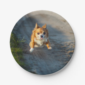 A long haired brown and white Chihuahua Running Paper Plate