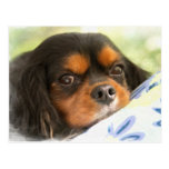 A Love Like No Other Cavalier King Charles Spaniel Post Cards