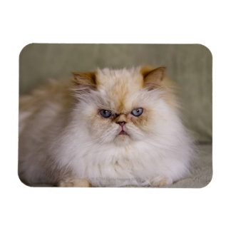A mad, upset, reclining Flame Point Himalayan Magnet