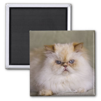A mad, upset, reclining Flame Point Himalayan Square Magnet