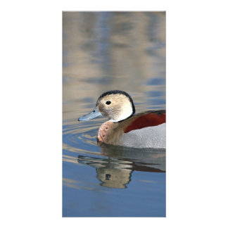 A Male Blue Billed Ringed Teal Swims in a pond Personalised Photo Card