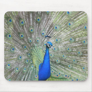 A Male Indian Peacock Fans it's tail Feathers Mouse Pad