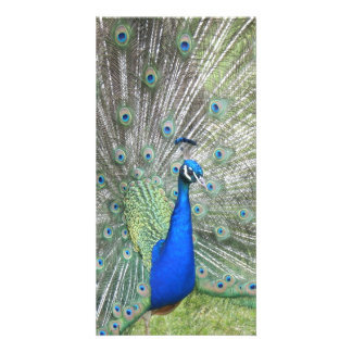 A Male Indian Peacock Fans it's tail Feathers Photo Greeting Card