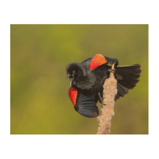 A Male Red-Winged Bird 2 Wood Canvas