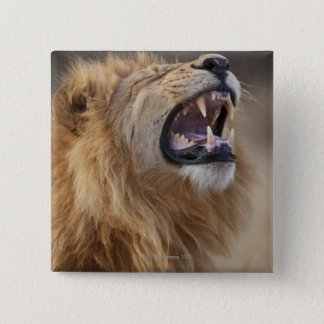 A mature male lion (Panthera leo) in the Savuti 15 Cm Square Badge