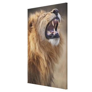 A mature male lion (Panthera leo) in the Savuti Canvas Print