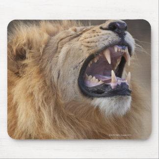 A mature male lion (Panthera leo) in the Savuti Mouse Mat