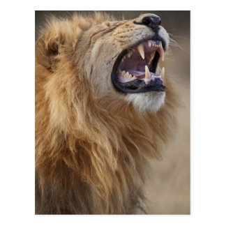 A mature male lion (Panthera leo) in the Savuti Postcard