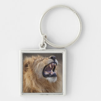 A mature male lion (Panthera leo) in the Savuti Silver-Colored Square Key Ring