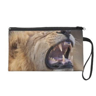 A mature male lion (Panthera leo) in the Savuti Wristlet