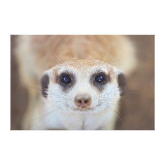 A Meerkat looking up at the camera Canvas Print