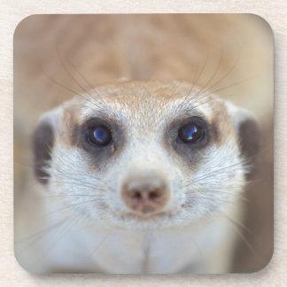 A Meerkat looking up at the camera Coaster