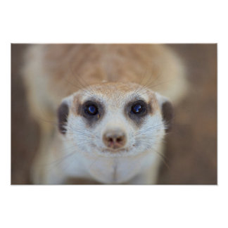 A Meerkat looking up at the camera Poster