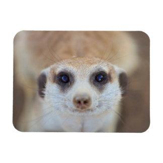 A Meerkat looking up at the camera Rectangular Photo Magnet