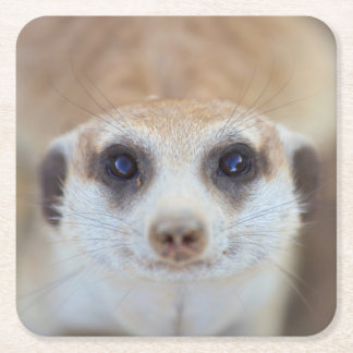A Meerkat looking up at the camera Square Paper Coaster