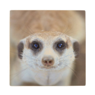 A Meerkat looking up at the camera Wood Coaster