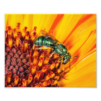 A Metallic Green Bee on an Orange Flower Art Photo