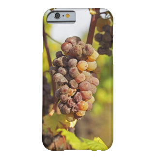 A moldy Semillon grape bunch at Ch Raymond Lafon Barely There iPhone 6 Case