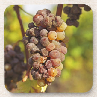 A moldy Semillon grape bunch at Ch Raymond Lafon Coaster