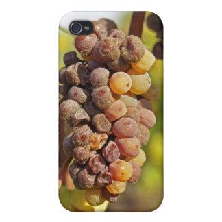 A moldy Semillon grape bunch at Ch Raymond Lafon iPhone 4 Cover