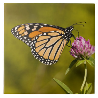A monarch butterfly, Danaus plexippus, on clover Tile