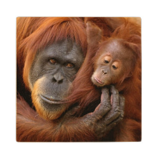 A mother and baby orangutan share a hug. wood coaster