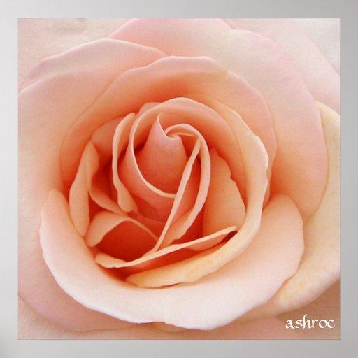 a nice pink rose poster