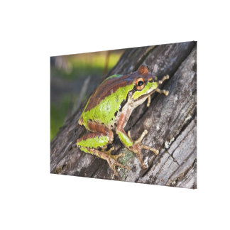 A Pacific treefrog perched on a log Canvas Print