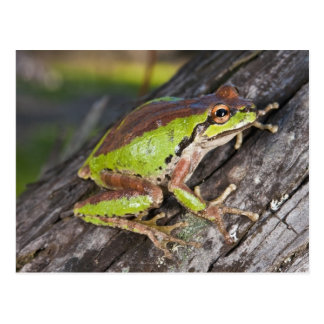 A Pacific treefrog perched on a log Postcard