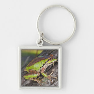 A Pacific treefrog perched on a log Silver-Colored Square Key Ring