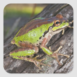 A Pacific treefrog perched on a log Square Sticker