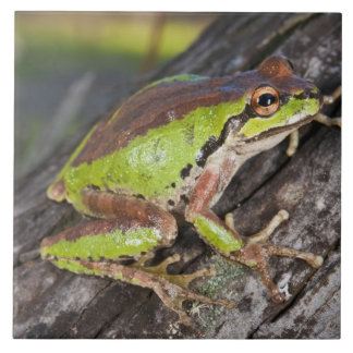 A Pacific treefrog perched on a log Tile