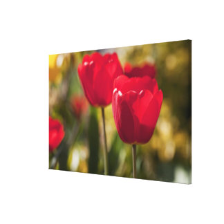 A pair of bright red Tulips captured with a Stretched Canvas Prints