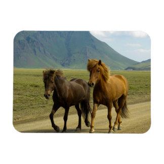A Pair of Brown Icelandic Ponies Magnet