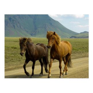 A Pair of Brown Icelandic Ponies Postcard