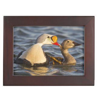 A pair of courting king eiders in a tundra pond keepsake box