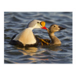 A pair of courting king eiders in a tundra pond postcard