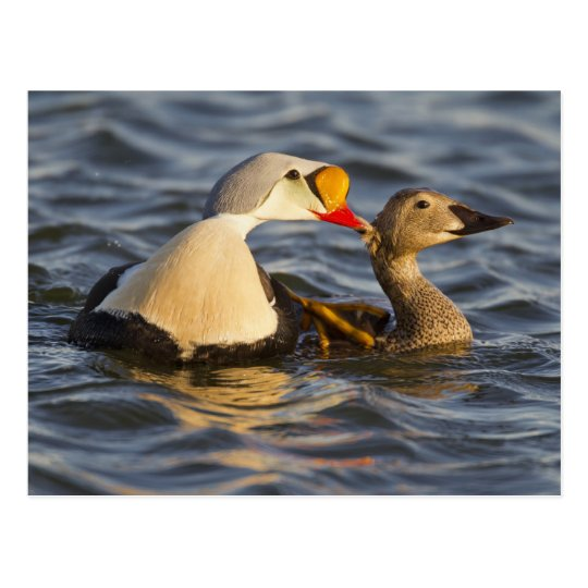 A pair of courting king eiders in a