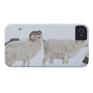 A pair of Dall sheep rams look up from grazing iPhone 4 Case
