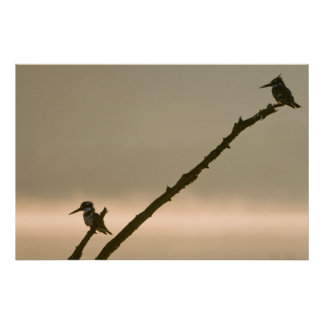 A Pair Of Pied Kingfishers (Ceryle Rudis) Poster